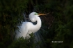 Ardea-alba;Breeding-Behavior;Breeding-Plumage;Egret;Great-Egret;One;avifauna;bir