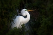 Great-Egret;Egret;Ardea-alba;One;avifauna;bird;birds;feather;feathered;feathers;