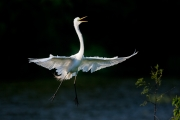 Ardea-alba;Breeding-Plumage;Egret;Flying-Bird;Great-Egret;One;action;active;aero