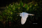 Ardea-alba;Breeding-Plumage;Egret;Flying-Bird;Great-Egret;Photography;action;act