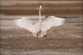Great-Egret;Egret;Ardea-alba;flying-bird;one-animal;close-up;color-image;nobody;