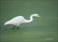 Florida;Great-Egret;Egret;Southeast-USA;Ardea-alba;one-animal;close-up;color-ima