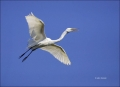 Florida;Southeast-USA;Great-Egret;Egret;Flight;Ardea-alba;flying-bird;one-animal