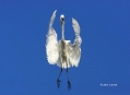 Great-Egret;Egret;Ardea-alba;Flying-bird;One-animal;Close-up;Color-image;photogr