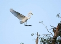 Great-Egret;Egret;Ardea-alba;Flying-bird;action;aloft;behavior;flight;fly;flying