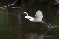 Great-Egret;Egret;Ardea-alba;Big-Cypress;Everglades;Flying-bird;action;aloft;beh