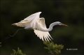 Great-Egret;Egret;Ardea-alba;Flying-Bird;action;active;aerodynamic;behavior;flig