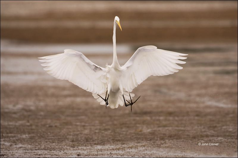 Great Egret;Egret;Ardea alba;flying bird;one animal;close-up;color image;nobody;photography;day;birds;animals in the wild;flight;outdoors;Wildlife