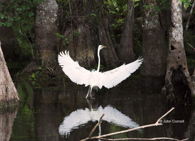 Great Egret;Egret;Ardea alba;Big Cypress;Everglades;Flying bird;action;aloft;behavior;flight;fly;flying;soar;wing;winged;wings;one animal;Color Image;Photography;Birds;Animals in the Wild;Flight;Action;Active;in flight;motion;movement;soaring;Cypress Swamp;Cypress Trees;Water;Foraging