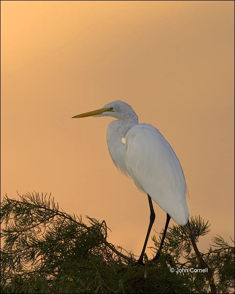 Florida;Southeast USA;Great Egret;Egret;Sunrise;Ardea alba;one animal;close-up;color image;nobody;photography;day;birds;animals in the wild;One;avifauna;bird;feather;feathered;outdoors;outside;untamed;wild;color;color photograph;daytime;close up;feathers;wilderness;perch;perching;watching;watchful;Close up;Wildlife