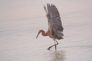 Egretta-rufescens;Feeding-Behavior;One;Reddish-Egret;avifauna;bird;birds;color-i