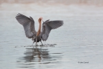 Egretta-rufescens;One;Reddish-Egret;avifauna;bird;birds;color-image;color-photog