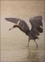 Reddish-Egret;Egret;Foraging;Egretta-rufescens;feeding-behavior;one-animal;close