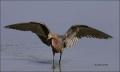 Reddish-Egret;Egret;Foraging;feeding-behavior;one-animal;close-up;color-image;no