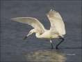 Florida;Southeast-USA;Reddish-Egret;White-Morph;Foraging;Egretta-rufescens;feedi