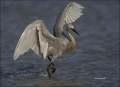 Reddish-Egret;Egret;Egretta-rufescens;feeding-behavior;one-animal;close-up;color