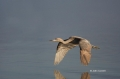 Reddish-Egret;Egretta-rufescens;Egret;Flying-bird;action;aloft;behavior;flight;f