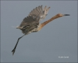 Reddish-Egret;Egret;Flight;Egretta-rufescens;feeding-behavior;one-animal;close-u