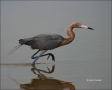 Reddish-Egret;Egret;Egretta-rufescens;one-animal;close-up;color-image;nobody;pho