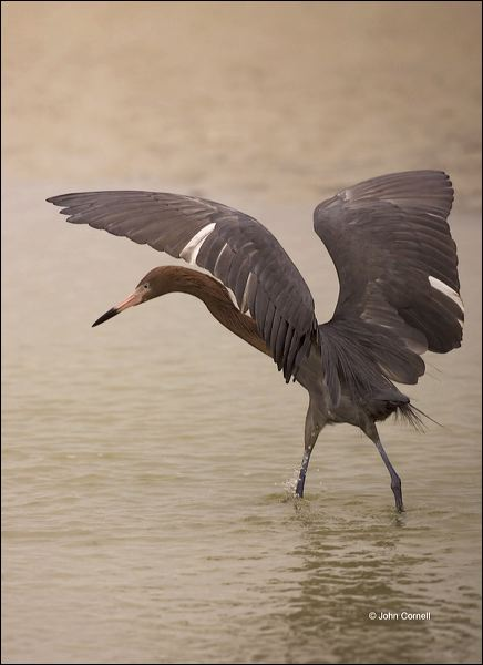Reddish Egret;Egret;Foraging;Egretta rufescens;feeding behavior;one animal;close-up;color image;nobody;photography;day;outdoors. Wildlife;birds;animals in the wild;foraging;feeding;prey