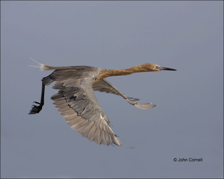 Reddish Egret;Egret;Flight;flying bird;one animal;close-up;color image;nobody;photography;day;outdoors. Wildlife;birds;animals in the wild;flight;Egretta rufescens;One;avifauna;bird;feather;feathered;outdoors;outside;untamed;wild;color;color photograph;daytime;close up;feathers;wilderness;perch;perching;watching;watchful;Close up