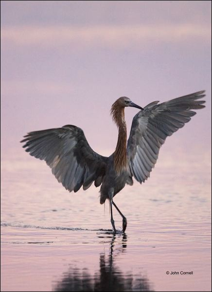 Reddish Egret;Egret;Egretta rufescens;feeding behavior;one animal;close-up;color image;nobody;photography;day;outdoors. Wildlife;birds;animals in the wild;foraging;feeding;prey;One;avifauna;bird;feather;feathered;outdoors;outside;untamed;wild;color;color photograph;daytime;close up;feathers;wilderness;perch;perching;watching;watchful;Close up