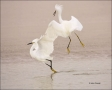 Snowy-Egret;Egret;Egretta-thula;feeding-behavior;close-up;color-image;nobody;pho