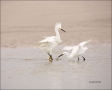 Snowy-Egret;Egret;Egretta-thula;Two-animals;Breeding-Behavior;Foraging;feeding-b