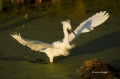 Southeast-USA;Snowy-Egret;Egretta-thula;Florida;one-animal;close-up;color-image;