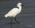 Egret;Florida;Southeast-USA;Snowy-Egret;feeding-behavior;one-animal;close-up;col