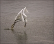 Snowy-Egret;Egret;Flight;Egretta-thula;flying-bird;one-animal;close-up;color-ima