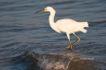 Animals-in-the-Wild;Egret;Egretta-thula;Feeding-Behavior;One;Photography;Snowy-E