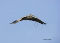 Great-Blue-Heron;Heron;Breeding-Behavior;Flight;Ardea-herodias;Flying-bird;One-a