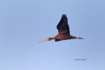 Ibis;Plegadis-chilhi;White-faced-Ibis;flight
