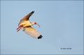 White-Ibis;Ibis;Eudocimus-albus;Flight;Flying-bird;action;aloft;behavior;flight;