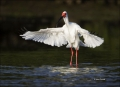 White-Ibis;Ibis;Breeding-Plumage;Flight;Eudocimus-albus;flying-bird;one-animal;c