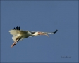 White-Ibis;Ibis;Flight;flying-bird;one-animal;close-up;color-image;nobody;photog