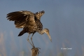 Animals-in-the-Wild;Aramus-guarauna;Florida;Limpkin;One;Photography;Southeast-US