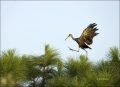 Limpkin;Aramus-guarauna;Flight;Flying-bird;One-animal;Close-up;Color-image;photo