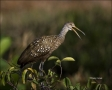 Limpkin;Aramus-guarauna;avifauna;feathered;feathers;wilderness;perch;perching;wa