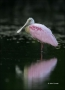 Roseate-Spoonbill;Reflection;one-animal;close-up;color-image;photography;day;out