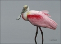 Roseate-Spoonbill;one-animal;close-up;color-image;photography;day;birds;animals-