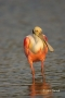 Roseate-Spoonbill;Florida;Southeast-USA;Ajaia-ajaja;One;avifauna;bird;feather;fe