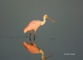 Roseate-Spoonbill;Spoonbill;Reflection;Ajaia-ajaja;One;one-animal;avifauna;bird;