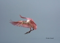 Roseate-Spoonbill;Spoonbill;Flight;Ajaia-ajaja;flight;One;one-animal;avifauna;bi