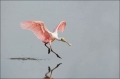 Roseate-Spoonbill;Spoonbill;Flight;flying-bird;one-animal;close_up;color-image;p