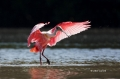 Roseate-Spoonbill;Spoonbill;Ajaia-ajaja;Flying-Bird;action;active;aerodynamic;be
