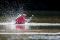 Roseate-Spoonbill;Spoonbill;Ajaia-ajaja;One;avifauna;bird;birds;feather;feathere