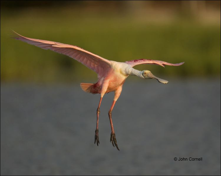 Roseate-Spoonbill;Flight;Florida;Southeast-USA;Ajaia-ajaja;flying-bird;one-anima