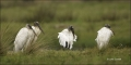Florida;Wood-Stork;Stork;Mycteria-americana;avifauna;bird;birds;feather;feathere